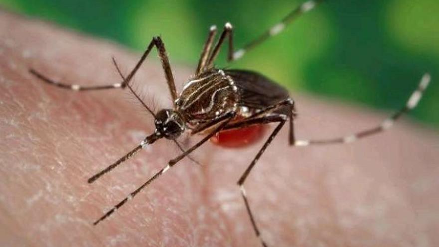 Mosquito 'Aedes aegypti'.