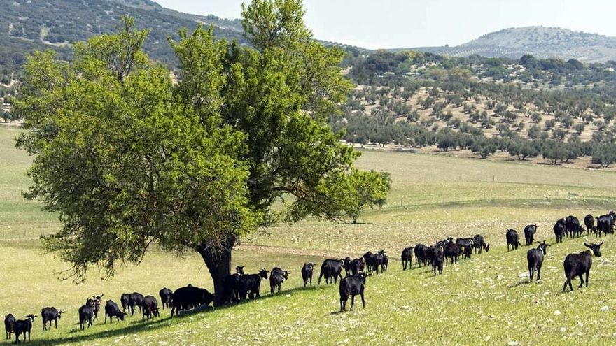 Ganado pastando en el campo, en sistema de ganadería extensiva.