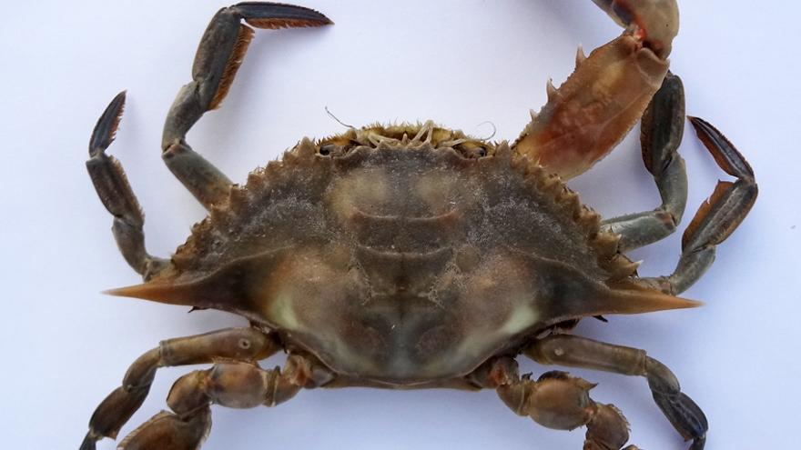 'Callinectes exasperatus', cangrejo azul, especie de cangrejo de América del Norte, ejemplar pescado recientemente en la playa de Valdelagrana, Bahía de Cádiz.