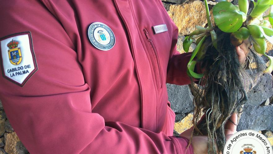 Un agente deMedio Ambiente con un ejemplar de 'jacinto de agua'.