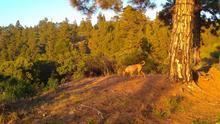 Perro de caza en una zona de pinar de Garafía.
