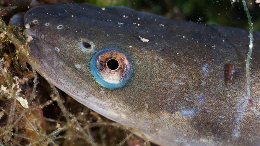 Unas pocas décadas atrás, la anguila era un manjar lleno de nutrientes para los huertanos