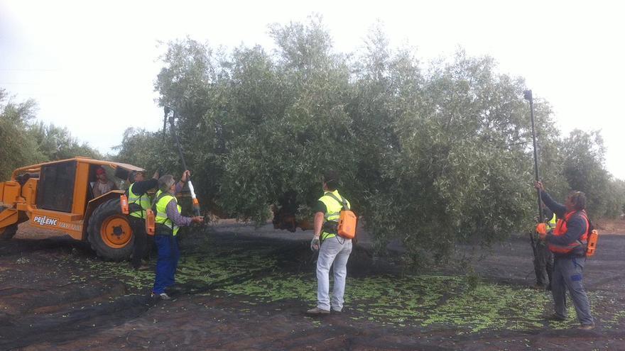 Cuadrilla de trabajadores en un olivar.
