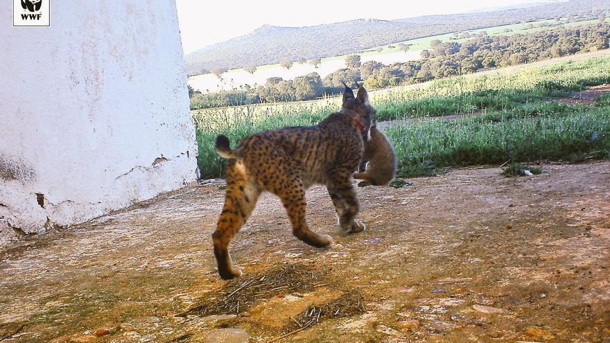 Primera camada de linces silvestres en Castilla-La Mancha 2018
