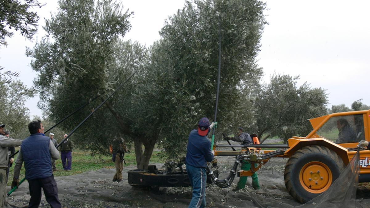 Vareando olivos