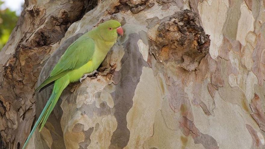 Imagen de un ejemplar de cotorra de Kramer (psittacula krameri). Foto: CARLOS MOLINA/ SEO/BIRDLIFE.