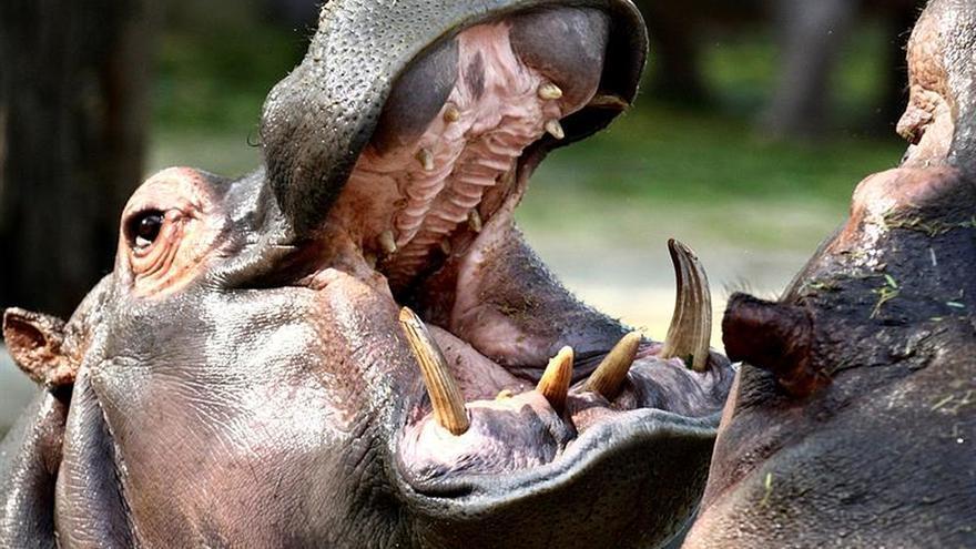 Los hipopótamos llegaron a Europa desde África en 3 oleadas en el Pleistoceno