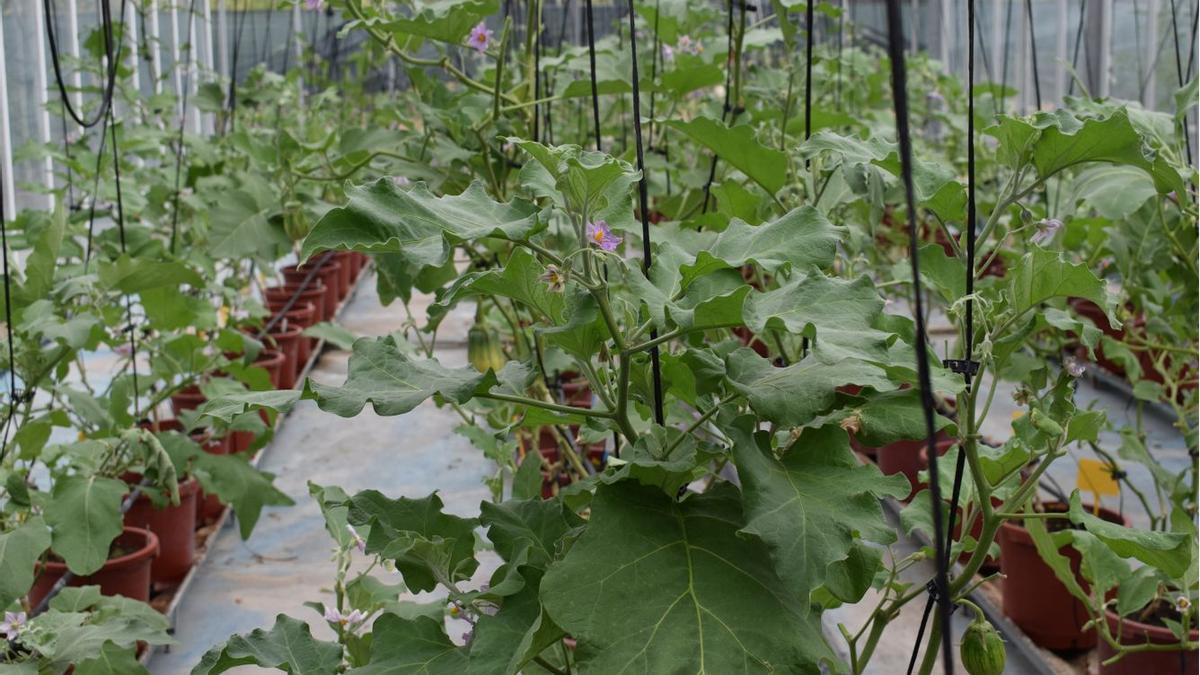 Algunes de les espècies d'albergínia cultivades en un hivernacle de la Universitat Politècnica de València.