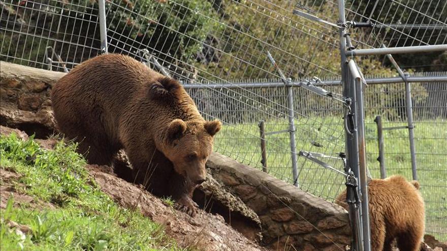El oso rescatado de los contrabandistas se integra con su especie en Cabárceno