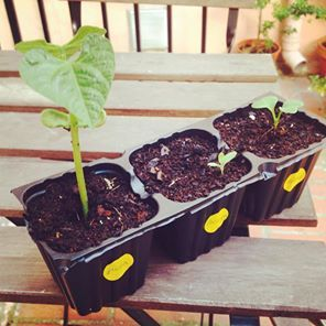 Plantas brotando en semilleros | REBROTA MALASAÑA