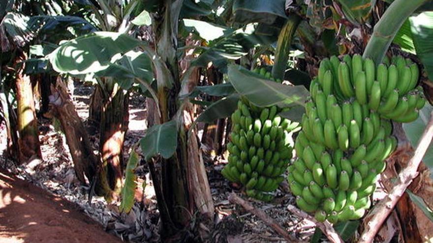 Imagen de archivo de una finca de plátanos, en Canarias