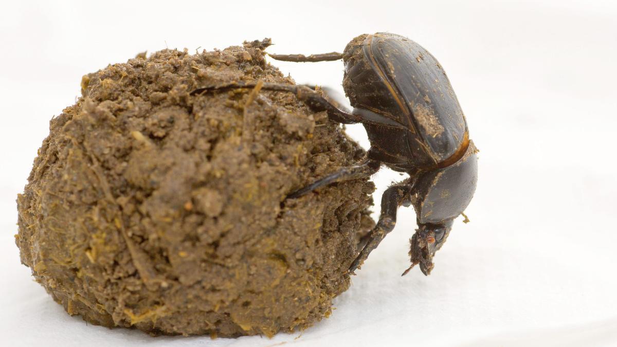 Un escarabajo pelotero. EFE/EPA/DRAGO PRVULOVIC/ Archivo