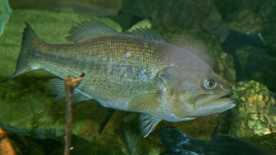 Ejemplar de perca americana, black bass (Micropterus salmoides).