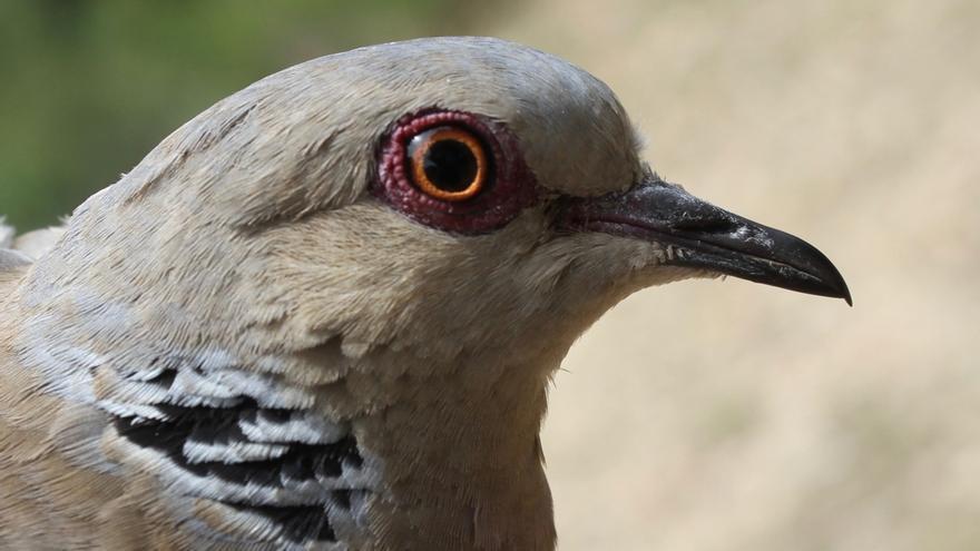 Un análisis confirma la prevalencia del virus de 'Newcastle' entre las tórtolas del Parque de Huelin de Málaga