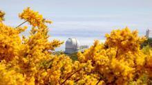 Retamones en floración cerca del Gran Telescopio Canarias.