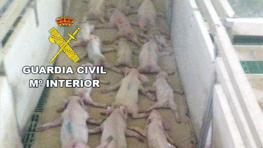 Matan a 19 lechones saltando sobre ellos y lo difunden por WhatsApp
