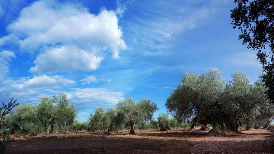 Algunos de los olivos milenarios de Canet lo Roig, en Castellón, poseen más de 2.000 años