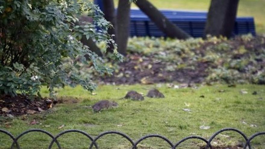 Ratas en un parque de París.
