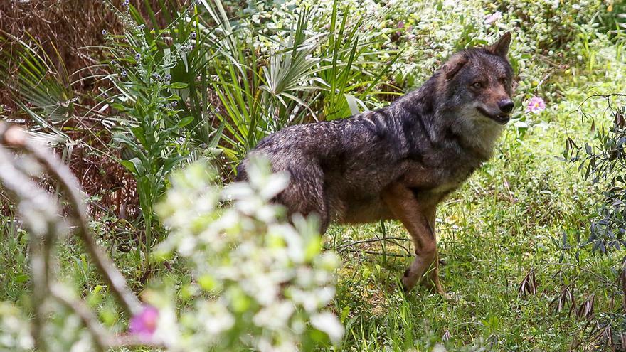 Un lobo en el CREA de Los Villares | ÁLEX GALLEGOS