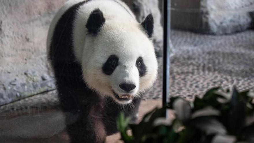 Resultado de imagen para panda alemania