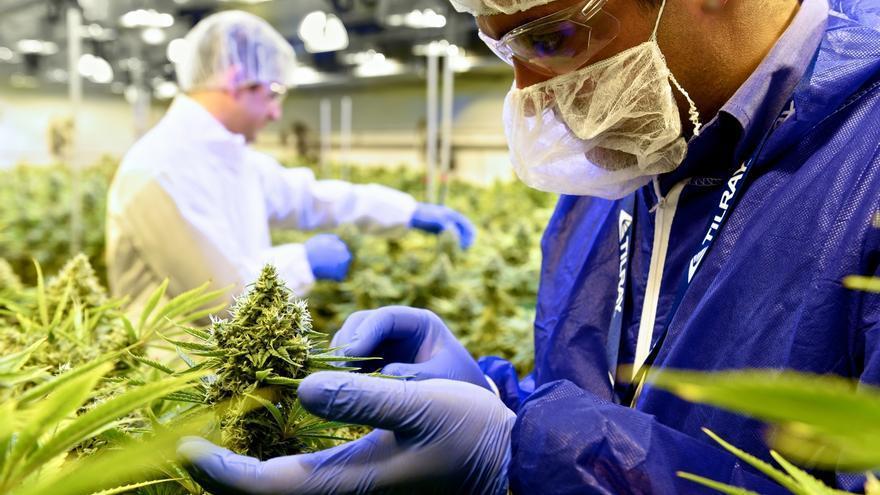 Docenas de empresas emergentes han surgido en torno al creciente mercado del cannabis