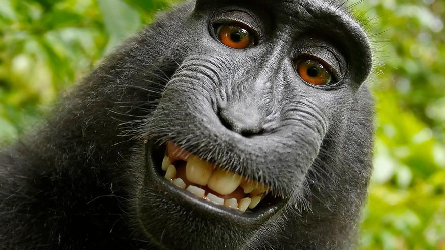 Naruto, el macaco que se realizó un 'selfie' con la cámara de David Slater