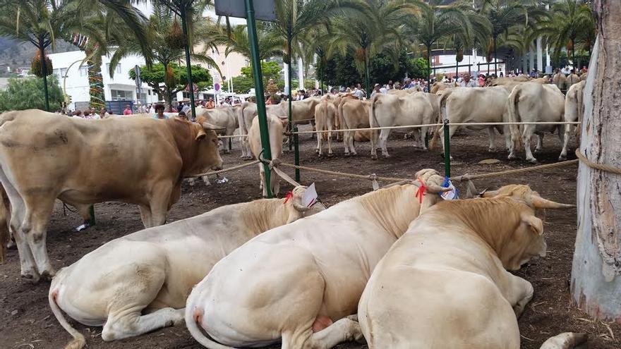 Más de 300 cabezas de ganado entre vacas y toros de raza palmera y actitud mixta, becerros y novillos de raza palmera y mixta, vacas de actitud lechera, cabras, chivatos y ovejas se han concentrado el Parque Conrado Hernández.
