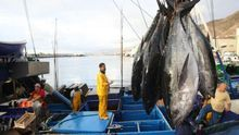 Descarga de túnidos en la dársena pesquera tinerfeña