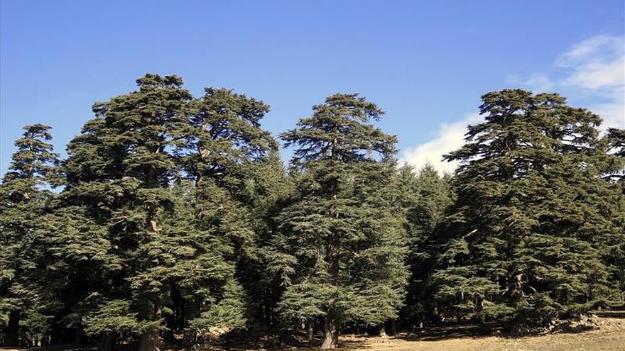 Los cedros marroquíes emigran a las cumbres por culpa del cambio climático
