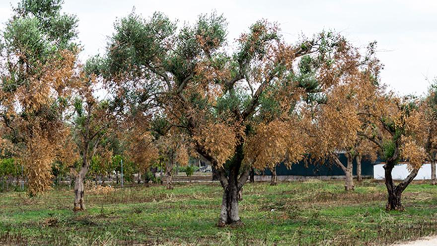 Árboles afectados por Xylella fastidiosa