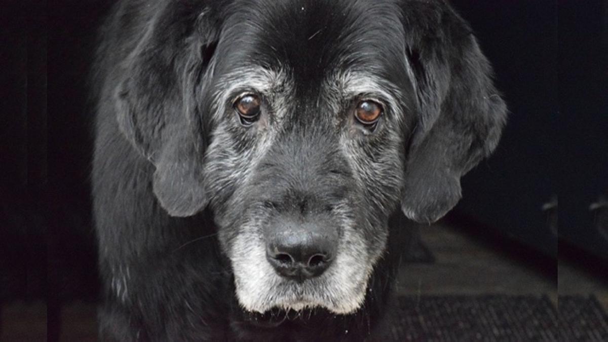Un perro viejo y hermoso.