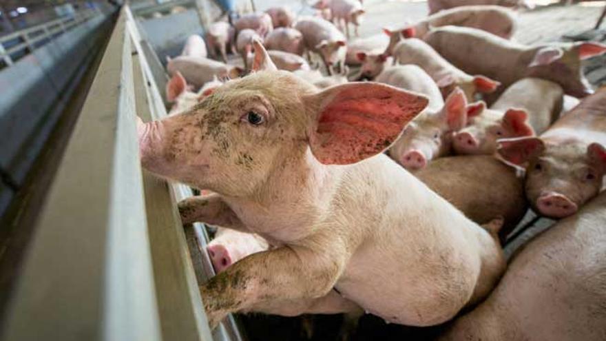 Cerdos en una granja propiedad de Icpor
