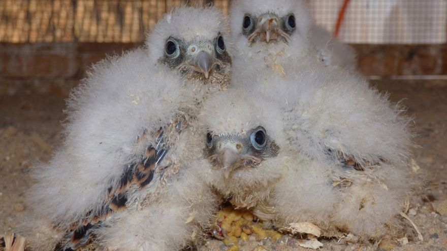 La suelta de 20 cernícalos primillas abre la mayor campaña anual a favor de un ave urbana española