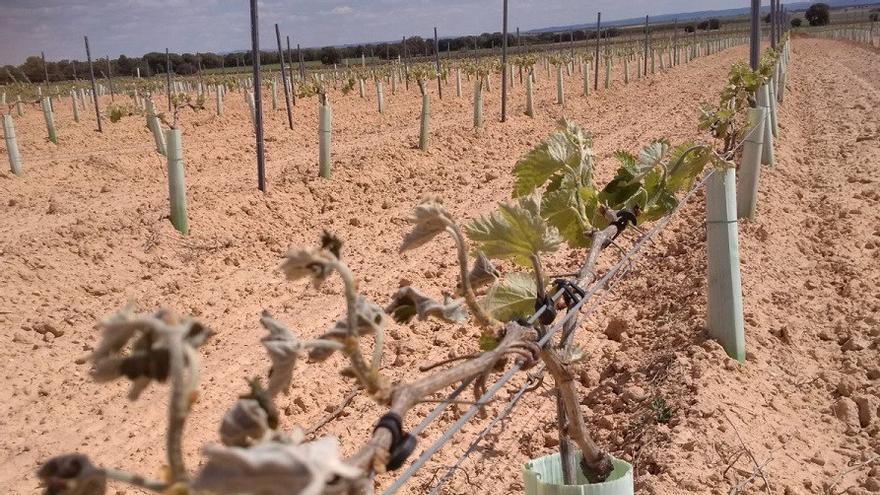Viñas afectadas por la helada en Navas de Jorquera, Albacete. Foto: UPA Albacete