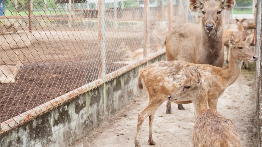 Gamos criados en granja para ser matados por cazadores