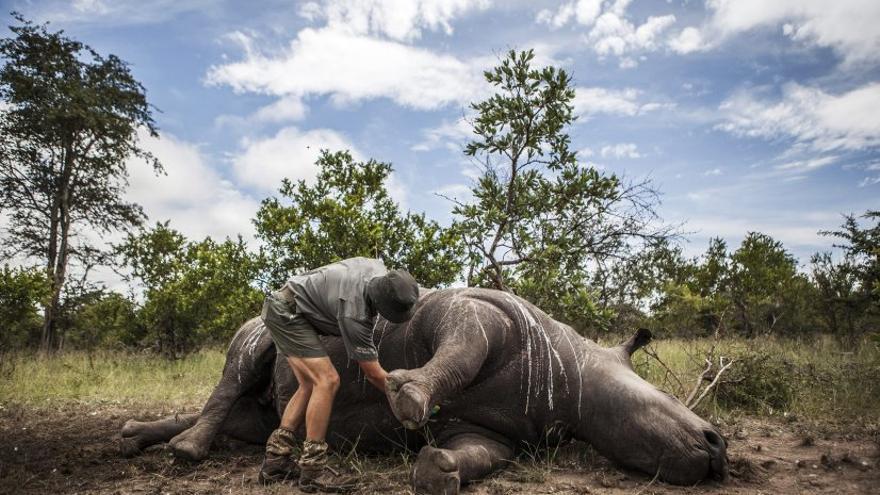 Un oficial del parque nacional Kruger investiga el cuerpo sin vida de un rinoceronte abatido por cazadores furtivos