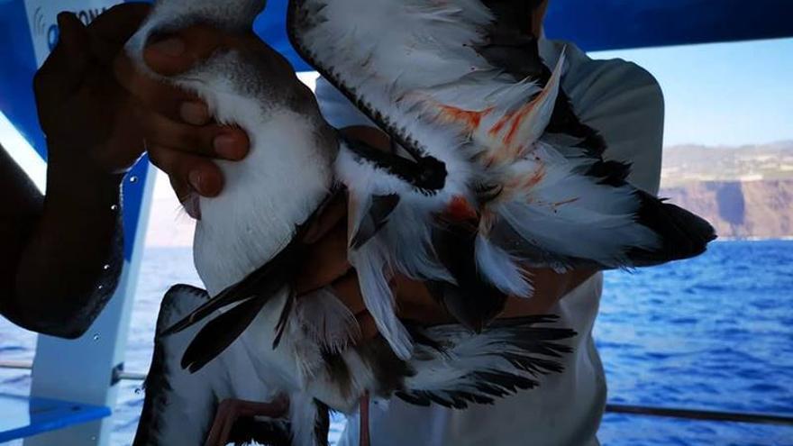 Imagen de pardelas muertas tomadas por la Asociación Tonina.