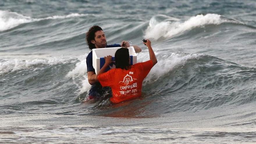 Devuelven al mar 32 tortugas bobas nacidas del nido custodiado en El Saler