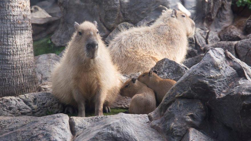 La nueva familia de capibaras, en Loro Parque