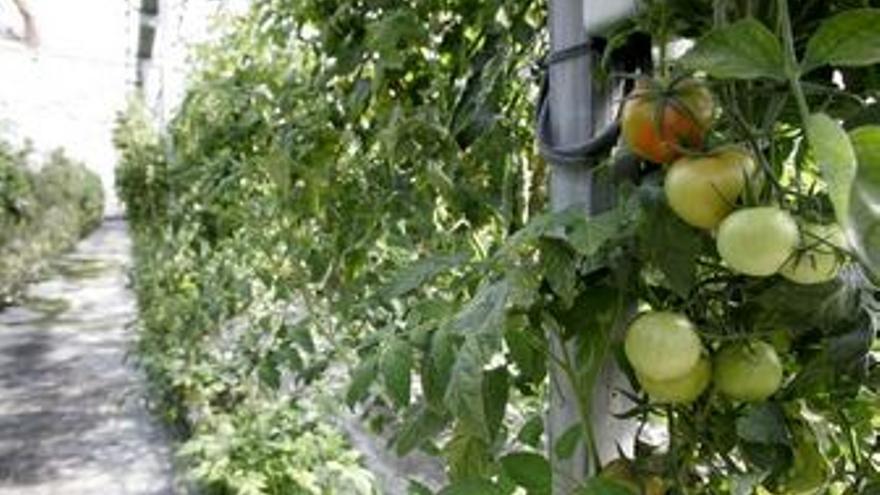 Los tomateros canarios señalan a Marruecos