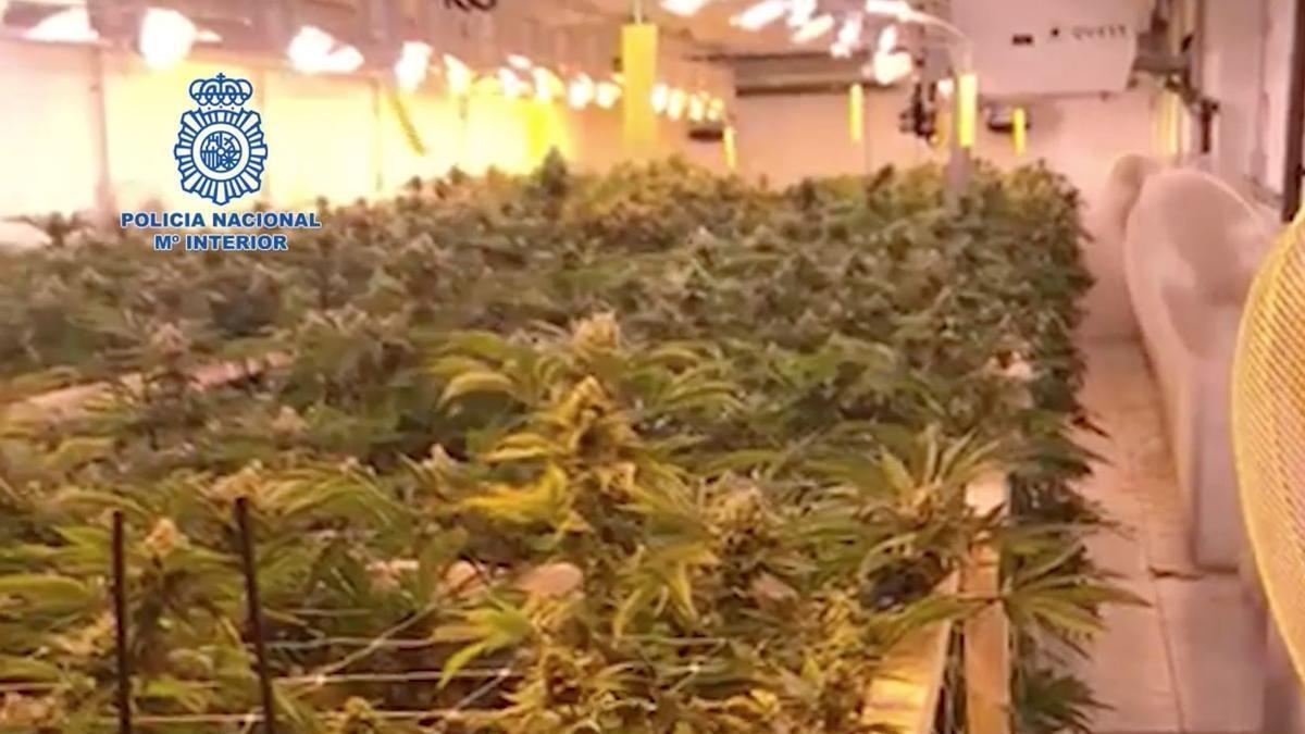 Plantación de marihuana detectada en el sur de Tenerife