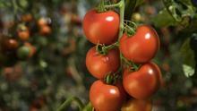 Mata de tomate, en una imagen de archivo