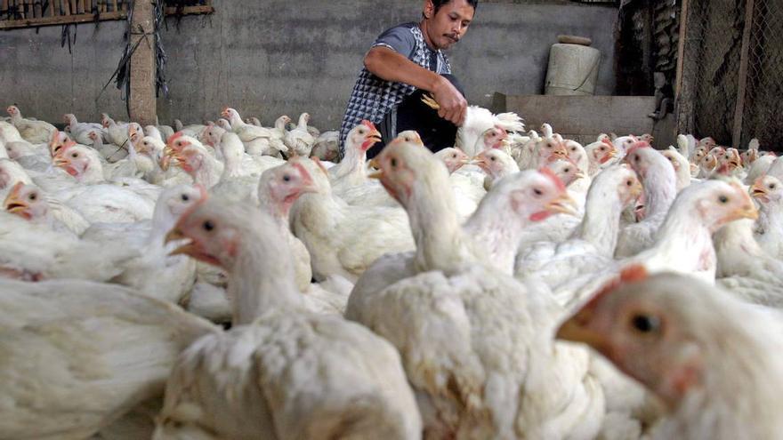 Un hombre selecciona pollos en una granja de Yakarta, Indonesia
