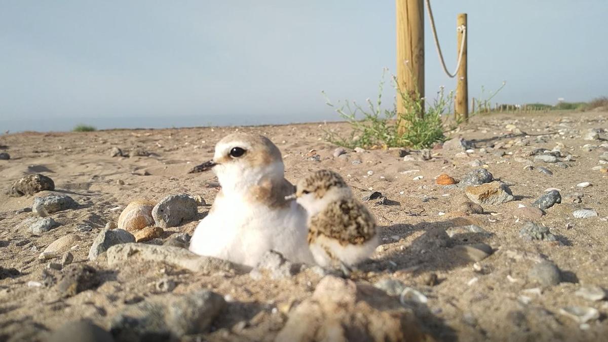 Un ejemplar de chorlitejo patinegro con su pollito en la playa de la Marjal de Rafalell i Vistabella-Massamagrell.
