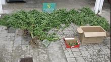 Plantas de marihuana hallada en la parcela agrícola