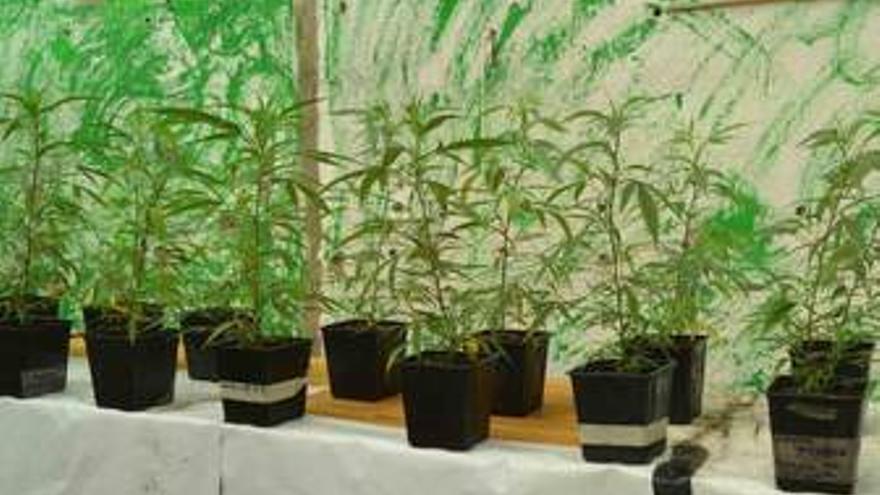 Plantas incautadas.