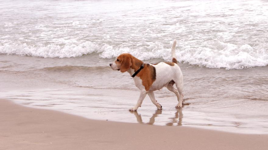 Un perro en el PlatjaCan de Pinedo