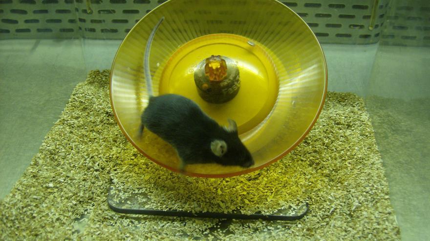 Uno de los ratones utilizados en el experimento