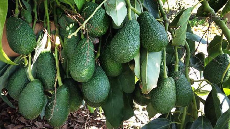 Cultivo de aguacates de La Palma.