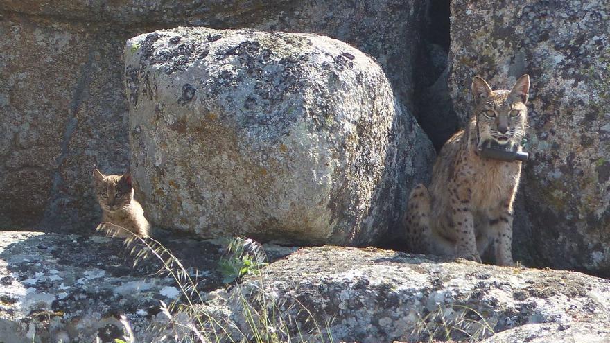 Lince junto a uno de los cachorros en los Montes de Toledo